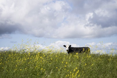 An image from the Orinda Cattle exhibit by Brian Churchwell.
