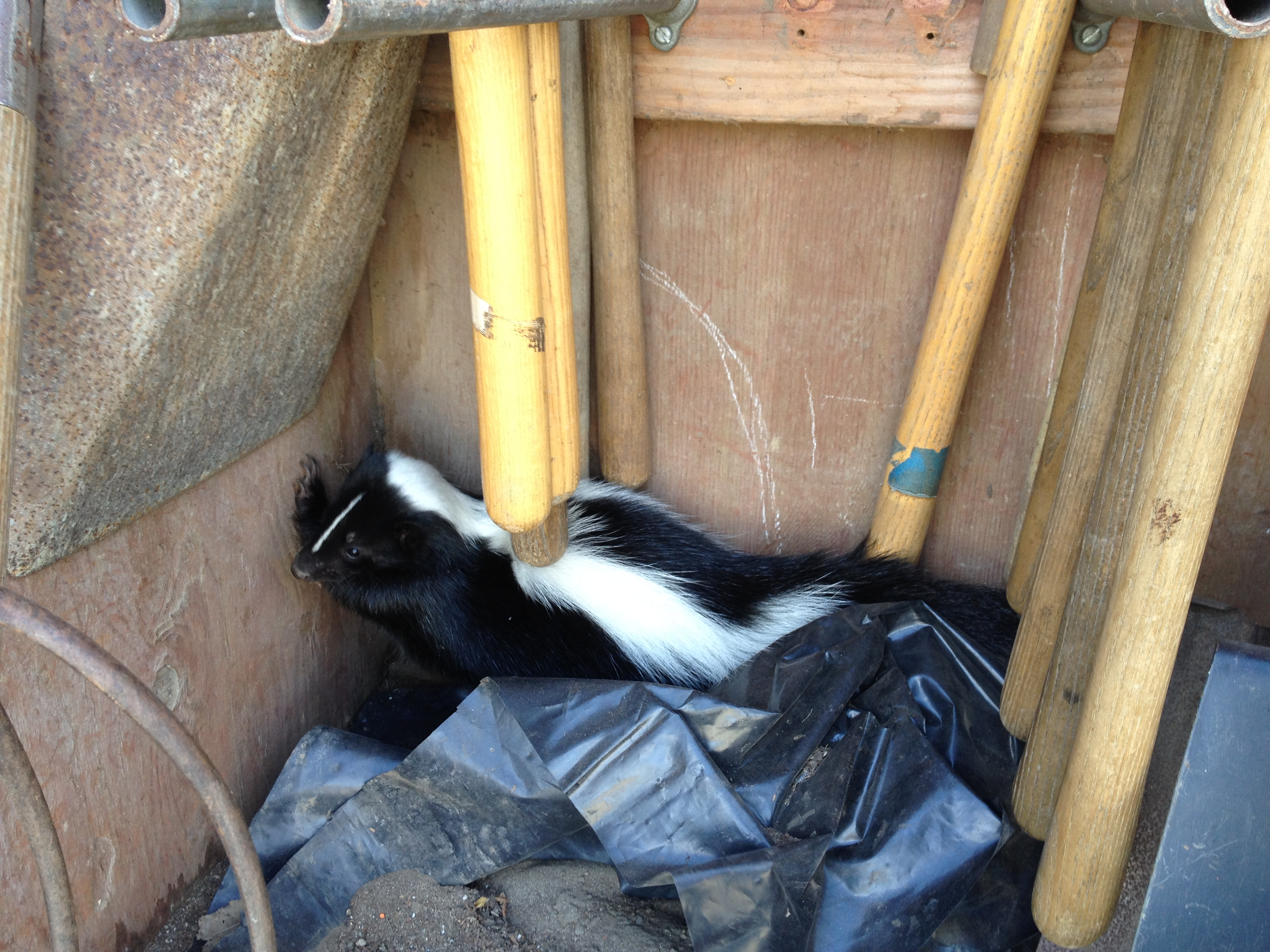 A skunk found at the Horticulture Department area at City College of San Francisco, Ocean Campus. Often hiding during bright daylight, they shoot a sulfur smell spray as a self-defense. Skunks may carry rabies and only spray each other during mating season.   Courtesy: Environmental & Horticulture/Floristry Department Instructor Thomas Wang