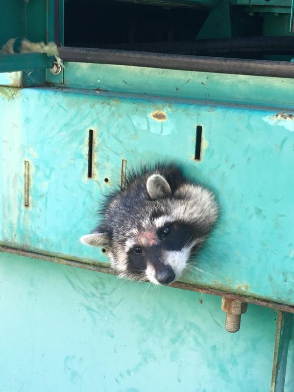 A raccoon contemplates the mistakes its made in life after poking its head through an opening in an Ocean Campus generator and becoming stuck on March 7, 2018. Photo courtesy of the San Francisco Animal Control Center.