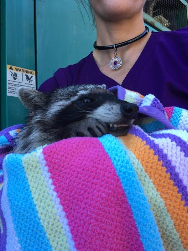 Raccoon freed from nightmare of being stuck at school forever on March 7, 2018. Photo courtesy of San Francisco Animal Control Center.